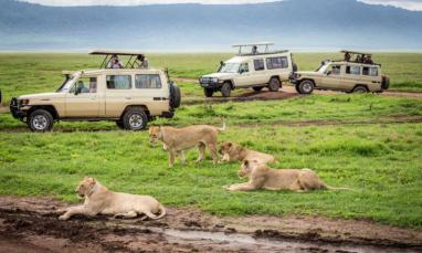 ngorongoro_tanzania_-_january_2_tourists_in_cars_watching_a_group_of_lionesses_during_a_typical_day_of_a_safari_on_january_2_2014_in_ngorongoro_crater_tamzania_0