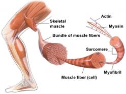 muscle-fibers-300x225