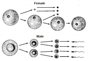 sex-cell-formation-300x209